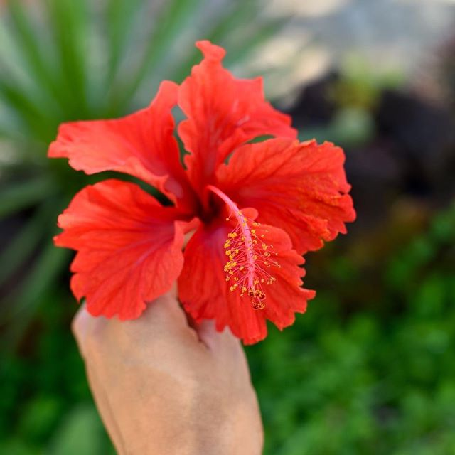 Good morning Puerto Vallarta 💛 Living for your perfect weather & stunning scenery || Shot of red Hibiscus from my visit to El Jardín Botánico @vbgardens #wevisitvallarta #PuertoVallarta #PVPresstrip