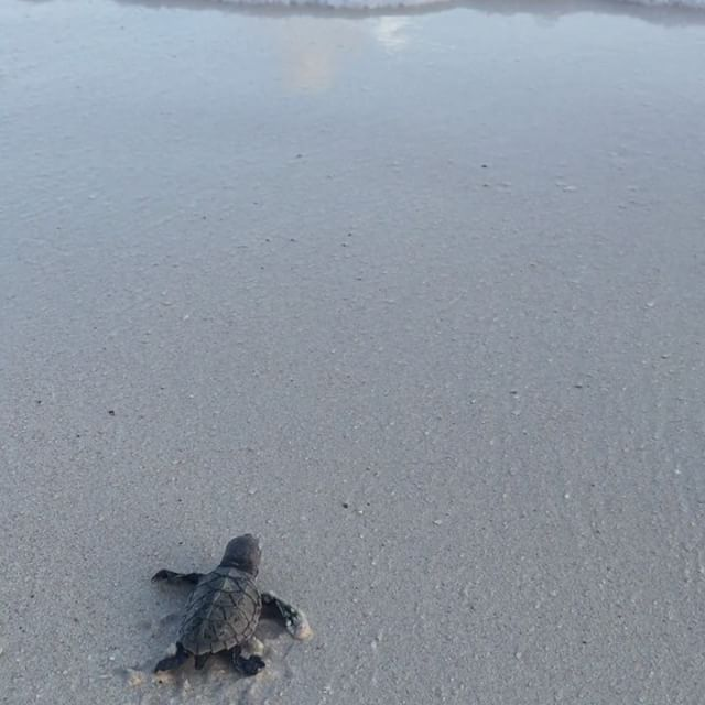 ❤️ Such a cool experience, got to see hundreds of baby #turtles make it to the #ocean 🐢🌊